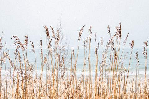 Phragmites on the dunes looking towards the water